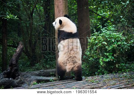 Giant Panda Standing Against A Tree Trunk