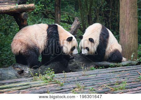 Two Giant Pandas Looking At Each Other