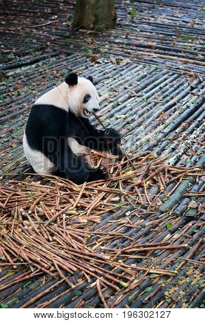 Panda Sitting On Wood And Eating Bamboo