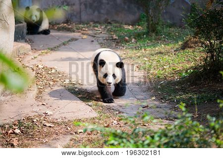 Young Giant Panda Walking On A Path With Another Panda In The Ba