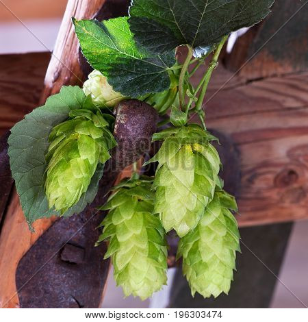 detail of hop cones on the rusty background
