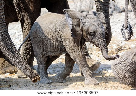 Baby Elephant walking in the midst of the herd