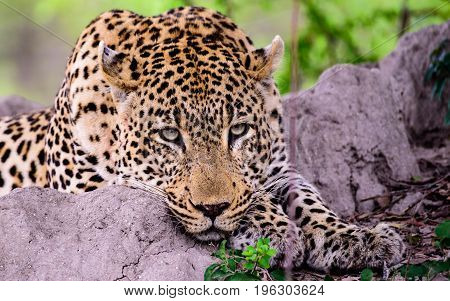 Close up of the face of a relaxed Leopard resting