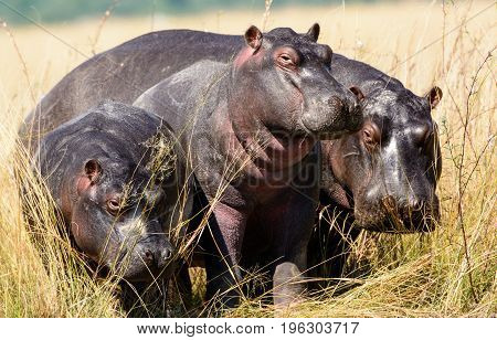 Small family group of Hippos on the riverbank of the Chobe river