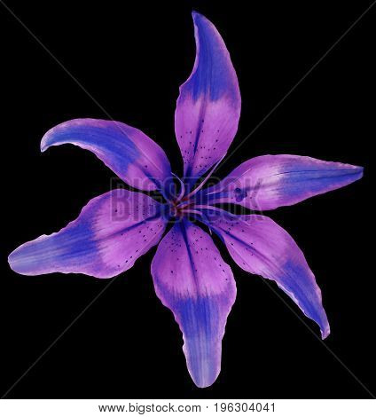 Lily blue-pink flower. Isolated object with clipping path on the black background. Beautiful six-petalslily lily for design. Closeup. Nature.
