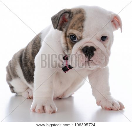 adorable male bulldog puppy on white background