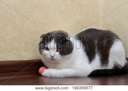 Scottish cat does not want to play with his ball