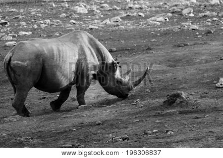 A Black Rhino in a dried waterhole at Etosha National Park - Namibia