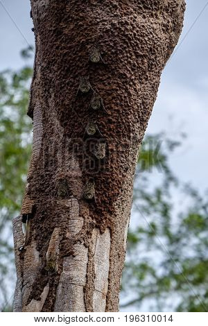 Group of proboscis bats rhynchonycteris naso camouflaged against a tree trunk in the Peruvian Amazon rainforest