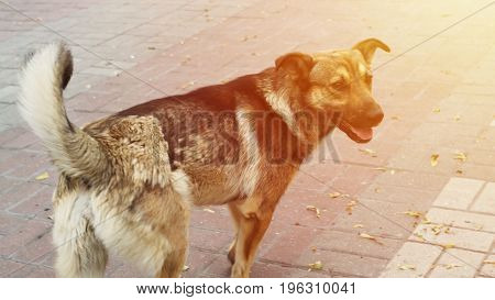 portraits of an old brown fur homeless dog under morning sunlight on city pathway floor.
