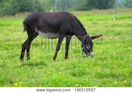donkey jackass eating grass in green field country farm meadow