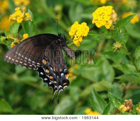 Black Butterfly With Closed Wings