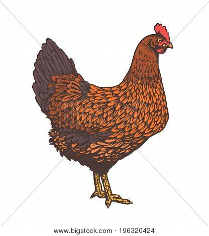 Hen or chicken drawn with rough lines in vintage woodcut or etching style. Colored poultry bird isolated on white background. Vector illustration for farm market logo, website banner, t-shirt print