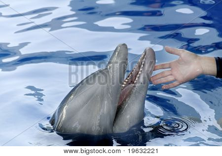 Dolphin And Person's Hand