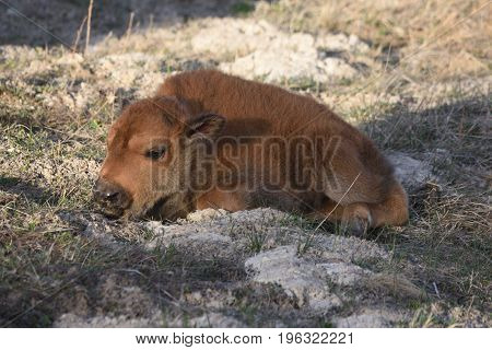 a baby buffalo lies in the snowy grass minutes after birth