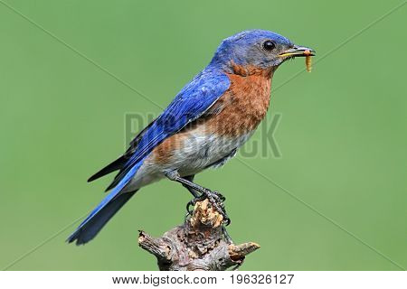 Male Eastern Bluebird (Sialia sialis) with an insect on a green background