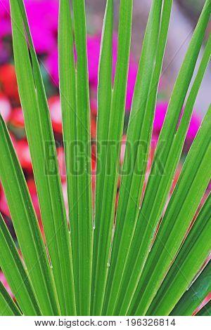 Fan Palm Leaf Against Blurry Flowerbed