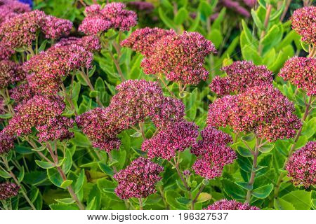 Sedum with pink flowers. Limited depth of field.