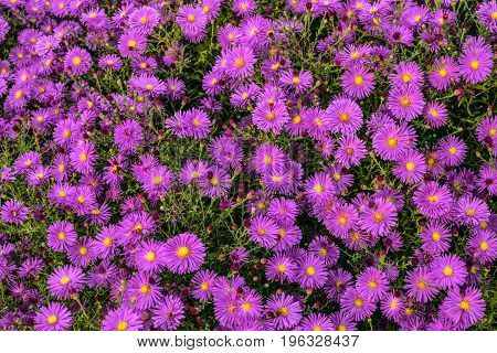 Many flowers colorful violet aster alpinus. Beautiful natural decorative garden plants.