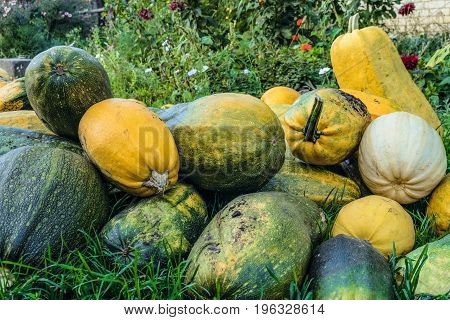 Large zucchini are stacked in a heap. Harvest the crops.