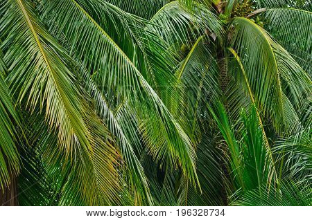 Leaves of coconut tree for background and texture