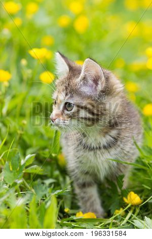 Kitten tortoiseshell color on a clearing in the grass among the yellow flowers