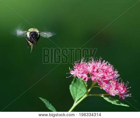 Bumble bee on final approach to flower