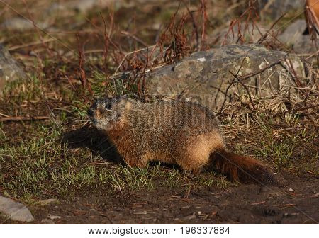 a hoary marmot stands by the rocks in the dawn light