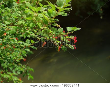 Forest scene with bush and small red fruits above the water river
