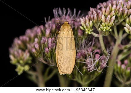 Orange footman moth (Eilema sororcula) on flower. Brightly coloured insect in the family Erebidae at rest on hemp-agrimony (Eupatorium cannabinum)