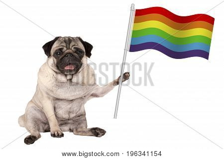sweet pug puppy dog holding up colorful LGBT rainbow banner flag isolated on white background