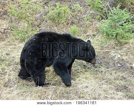 a large black bear walks on a trail