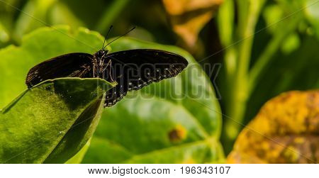 Closeup Of Black Butterfly With White Markings