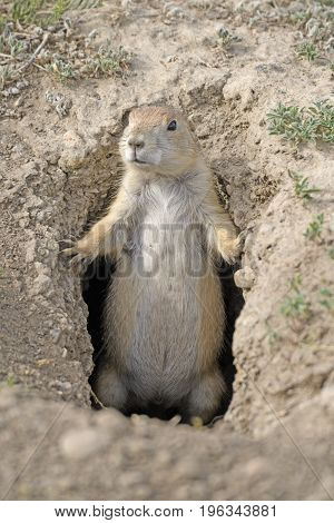 Prairie Dog Guarding his Hole in Theodore Roosevelt National Park in North Dakota