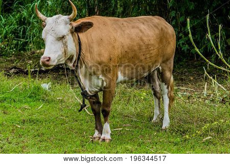 Closeup Of A Brown And White Heifer
