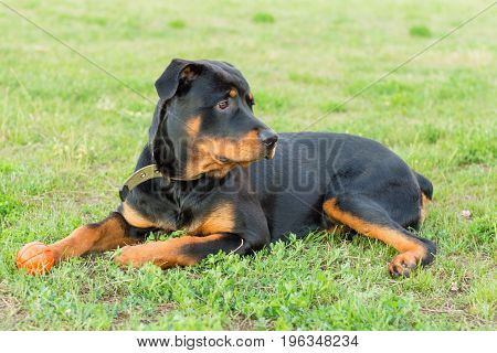 Big Black Rottweiler standing on green grass