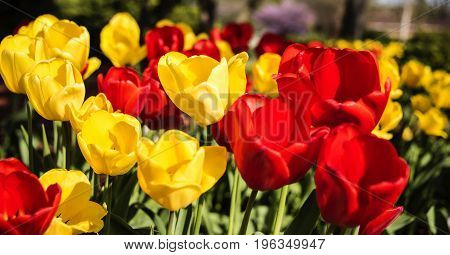 Red and yellow tulip spring flowers on sunny day