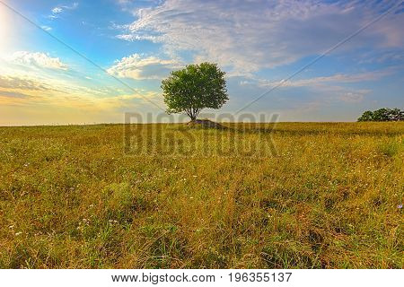 Morning in the field where in the center costs a lonely tree. The grass in the field of has begun to turn yellow. Roots of a tree hold soil from a flash.
