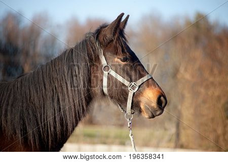 Foal young horse thoroughbred portrait outside on meadow