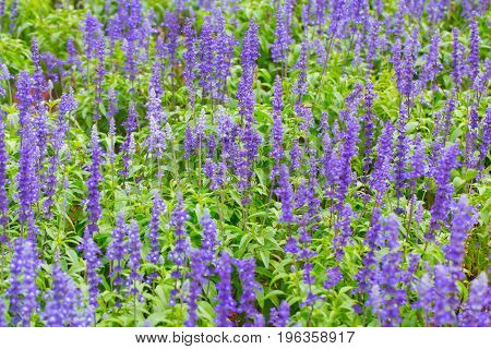 Lavender flower plant fild violet in the garden