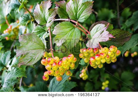 Close up of unripe Guelder-rose berries on a branch