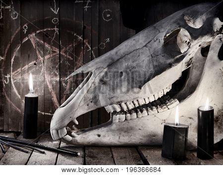 Black candles and horse skull against the background with pentagram. Mystic still life with scary occult objects, horror Halloween and black magick concept, fortune telling or divination rite