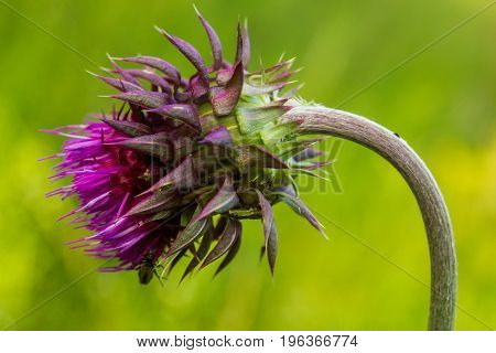 The curly plumeless thistle or welted thistle - Carduus crispus. Amazingly beautiful flower growing everywhere. On the photo there is a flower bud on a green background.