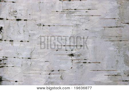 birch texture #1