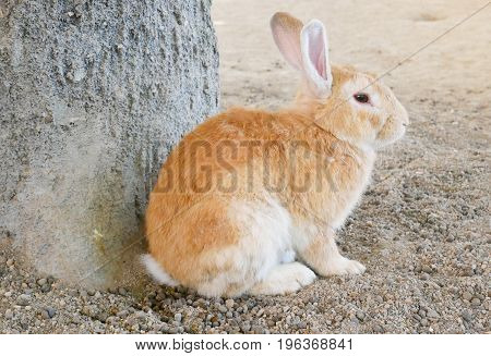 Brown adorable rabbit sit on ground. Cute