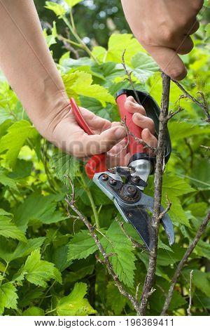 hands of gardener with garden pruner closeup