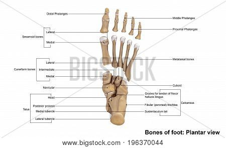 The forefoot contains the five toes (phalanges) and the five longer bones (metatarsals). The midfoot is a pyramid-like collection of bones that form the arches of the feet. These include the three cuneiform bones, the cuboid bone, and the navicular bone.