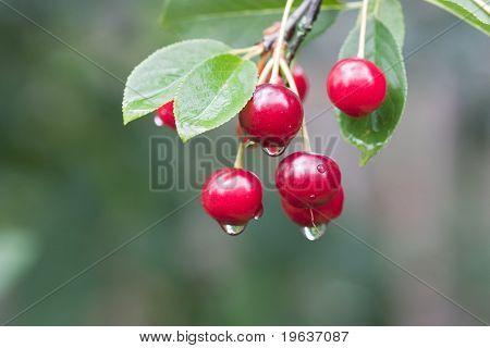 Closeup of cherry twig with rain drops