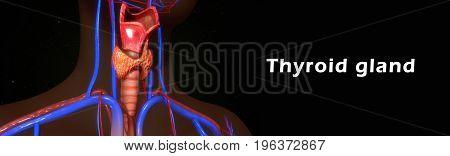 The thyroid gland, or simply the thyroid /ˈθaɪr