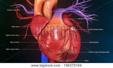 The heart is a muscular organ in humans and other animals, which pumps blood through the blood vessels of the circulatory system.